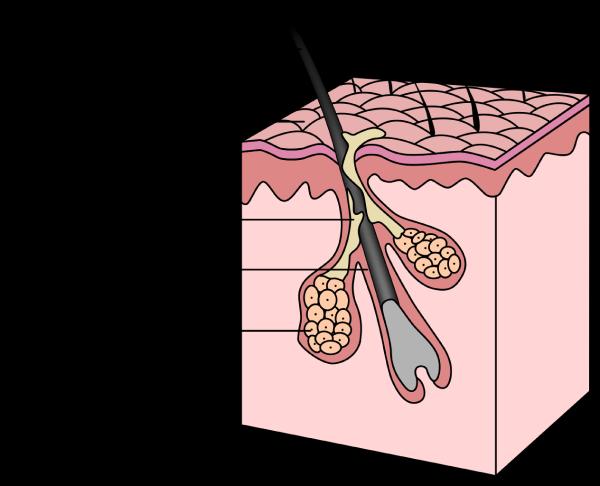 struttura di un follicolo pilifero Microfue